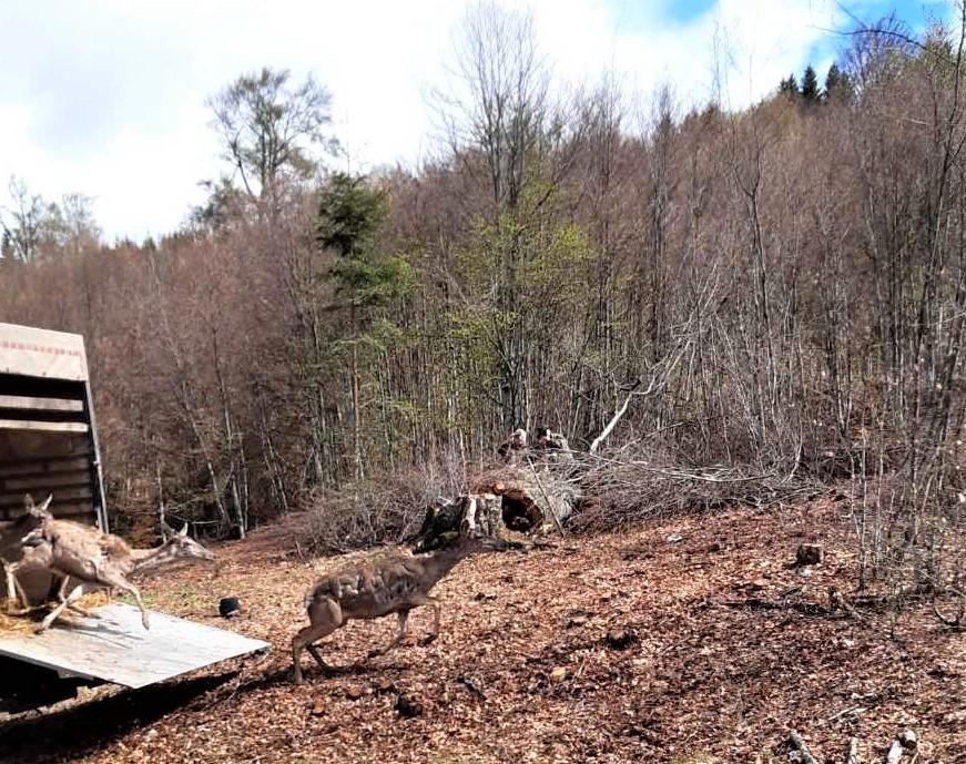 Evropski jelen se vratio u Nacionalni park Kopaonik (FOTO) - HopNaKop Kopaonik